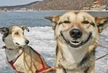 """一个关于动物的经典笑话。三个愚蠢的雪橇是""""哈士奇,阿拉斯加,萨摩耶""""  理由很简单"""